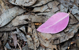 Violet leaf on the ground Stock Photos
