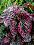 Violet leaf. This plant is a begonia, and its intense violet colour and dark green stripes on its leafs makes it unique in every garden. This one was found in a Stock Images