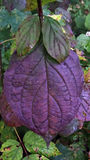 Violet leaf. Royalty Free Stock Photo