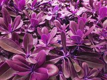 Free Violet Leaves Of Tree Royalty Free Stock Photography - 113680047