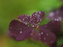 Violet leaves with raindrops. On blurred backgorund Stock Photos