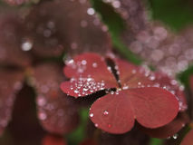 Violet leaves with raindrops. On blurred backgorund Royalty Free Stock Image
