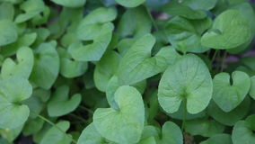 Violet leaves Stock Photography