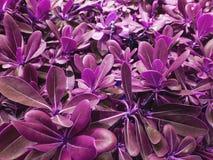 Violet leaves of tree
