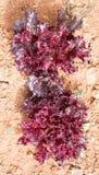 Violet Lettuce für Salat Stockbild