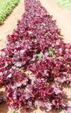Violet Lettuce für Salatanlage auf Berg Stockfoto