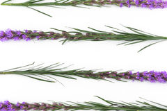 Violet liatris flowers from top view Royalty Free Stock Photos