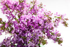 Violet lilac Stock Images