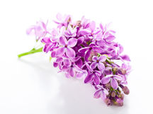 Violet lilac Stock Photography