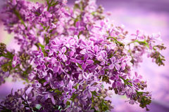 Violet lilac Stock Photos