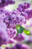 Violet lilac Royalty Free Stock Photos