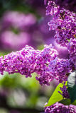 Violet lilac Stock Photos