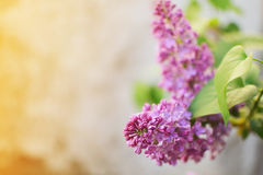 Violet lilac. Blooming violet lilac on a brunch Royalty Free Stock Images