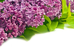 Violet lilac border. With green leaves Royalty Free Stock Images