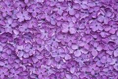 Violet lilac flower background Stock Images