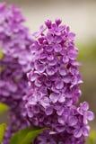 Violet lilac flower Stock Images