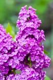 Violet lilac flower Stock Image