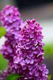 Violet lilac flower Royalty Free Stock Image