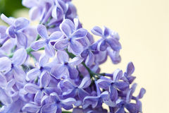Violet lilac flowers Royalty Free Stock Images
