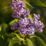 Violet lilac flowers Stock Photos