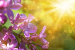 Violet lilac flowers close up with sun rays. And bokeh spring background or summer background royalty free stock photography