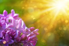 Violet lilac flowers close up with sun rays and bokeh. Spring background or summer background royalty free stock photo