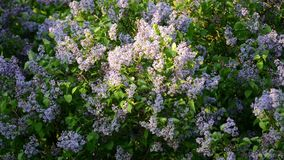 Violet lilac tree. Blooming and blowing in soft wind stock footage