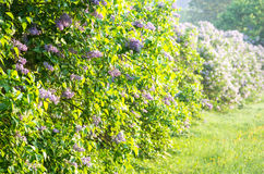 Violet lilac trees Stock Photography