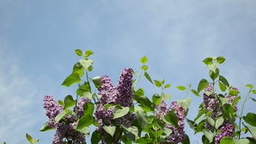 Violet lilac twig sky. Violet blue lilac tree branches twigs with blooms and leaves move in wind on background of blue cloudy sky stock footage
