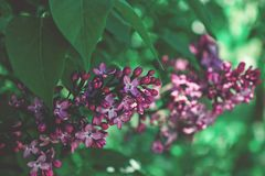 Violet lilac vintage look. Green leaves. With violet lilac royalty free stock photo