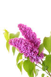 Violet lilacs isolated Royalty Free Stock Photo