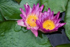 Violet lilies Nymphaea on the water surface. Two violet water lilies Nymphaea on the lake surface stock photography