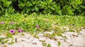 Violet Lilies que florece por el océano. Isla tropical de Similan. Th Fotografía de archivo libre de regalías