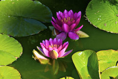 Violet lilies in water. Garden Royalty Free Stock Photography