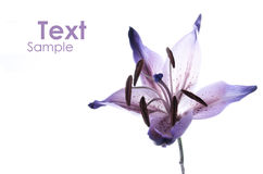 Violet lily Stock Image