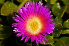 Violet Lily. Fotografía de archivo libre de regalías