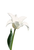 Violet lily-flowered tulip on white background Royalty Free Stock Images