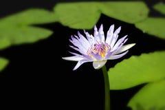 Violet Lily mit Bienen gegen schwarze Hintergrund- und Grünblätter Stockfotografie