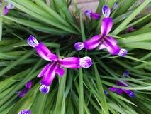 Violet little Iris Royalty Free Stock Photo