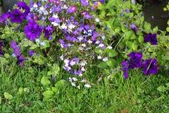 Violet lobelia blossom in the garden Stock Photography