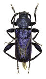 Violet Longhorn Beetle op witte Achtergrond Royalty-vrije Stock Foto's