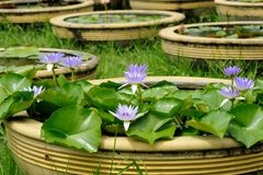 Violet Lotus Royalty Free Stock Photos