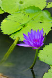 The violet Lotus. In the park stock photo