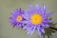Violet Lotus. Beautiful Violet Lotus blooming in swamp Stock Photo