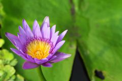 Violet lotus Royalty Free Stock Image
