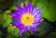 Violet lotus Royalty Free Stock Photos