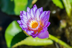 Violet lotus. So beautiful Stock Photo
