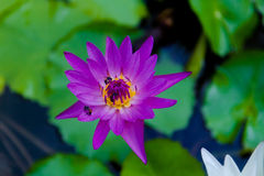 Violet lotus and a bee Royalty Free Stock Photos