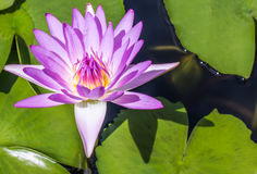 Violet Lotus Bloom Royalty Free Stock Images