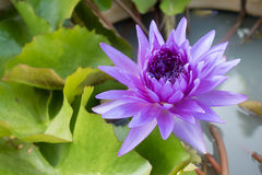 Violet lotus. Blooming in the pond Stock Photos
